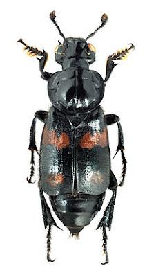 10 อันดับสัตว์, ชีวิตสัตว์, สัตว์สถาปนิก, ด้วงจอมฝัง (Burying Beetles)