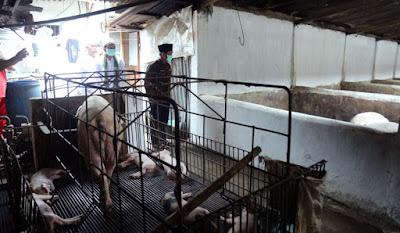 Bupati datangi peternakan babi