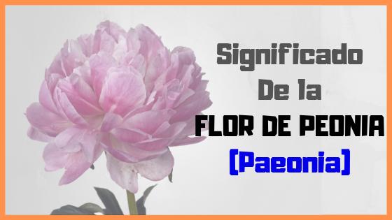 flor peonia paeonia significado