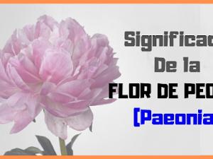 🌺 Flor de PEONIA SIGNIFICADO y Simbolismo