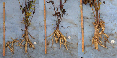 Largest three plants of some seed-sown skirret
