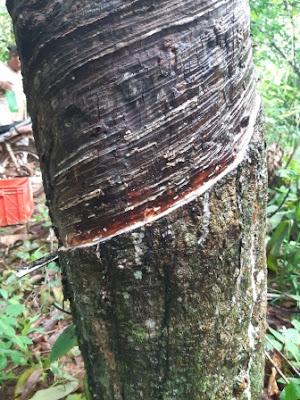 https://www.kangkaret.com/2019/12/akibat-menyadap-pohon-karet-dalam-kondisi-basah.html
