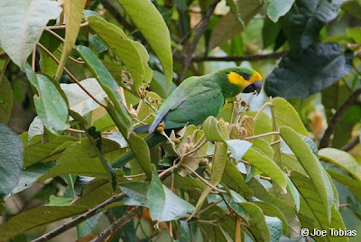 Yellow eared parrot