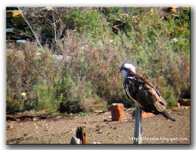 Águila pescadora sobre un poste