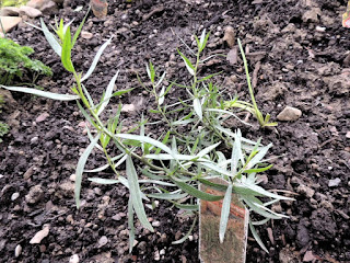 Herbs in the Ohio Garden - Tarragon