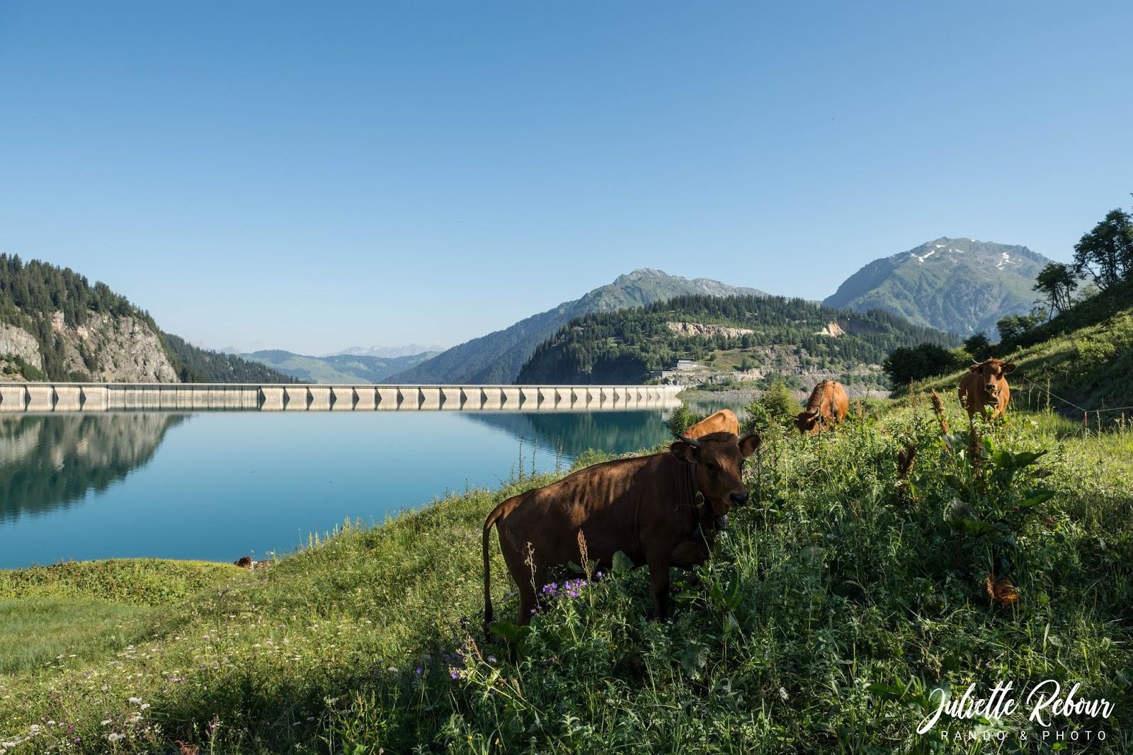 Vache tarine, lac de Roselend