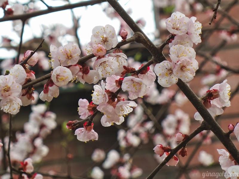 Cherry Blossoms Seoul