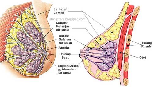 Struktur, Fisiologi, dan Manfaat Air Susu Ibu
