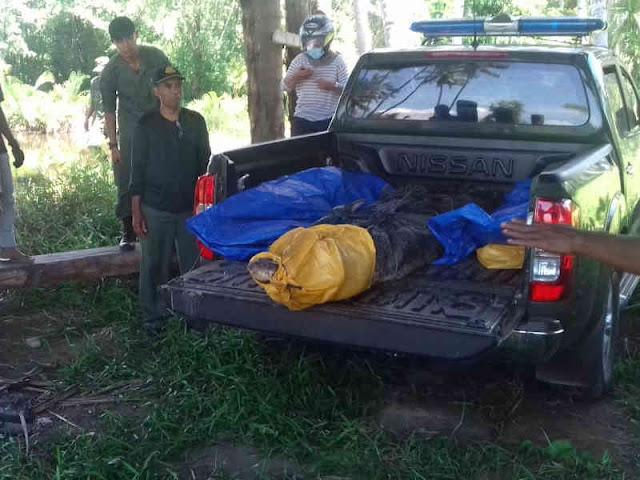 SKW Ternate Evakuasi Buaya di Sungai Weda
