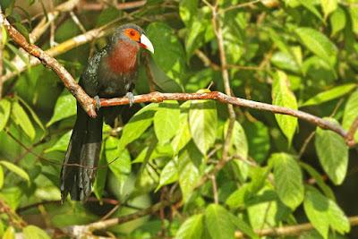 Phaenicophaeus oeneicaudus
