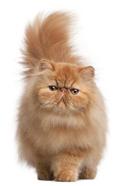 Persian cat salah satu kucing paling mahal di dunia