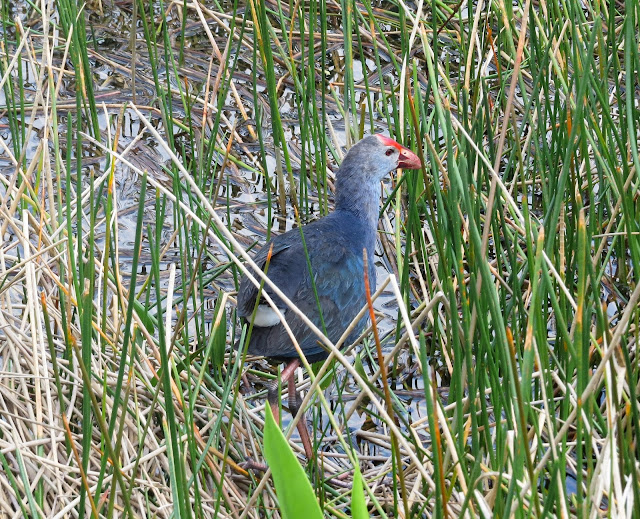 Gray-headed Swamphen - Green Cay Wetlands, Florida
