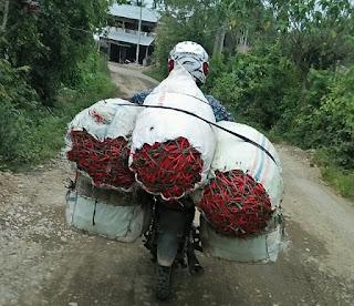 Cara Semai Biji Cabe dengan Menggunakan Bawang Merah