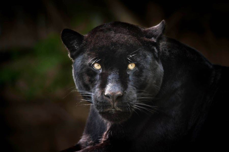 22 Impressive Pictures of Black Panthers - Best ... - photo#23