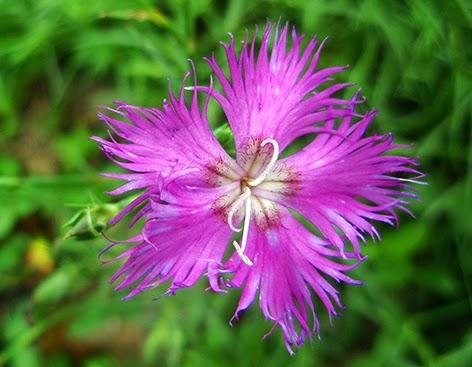 Clavelina (Dianthus hyssopifolius)