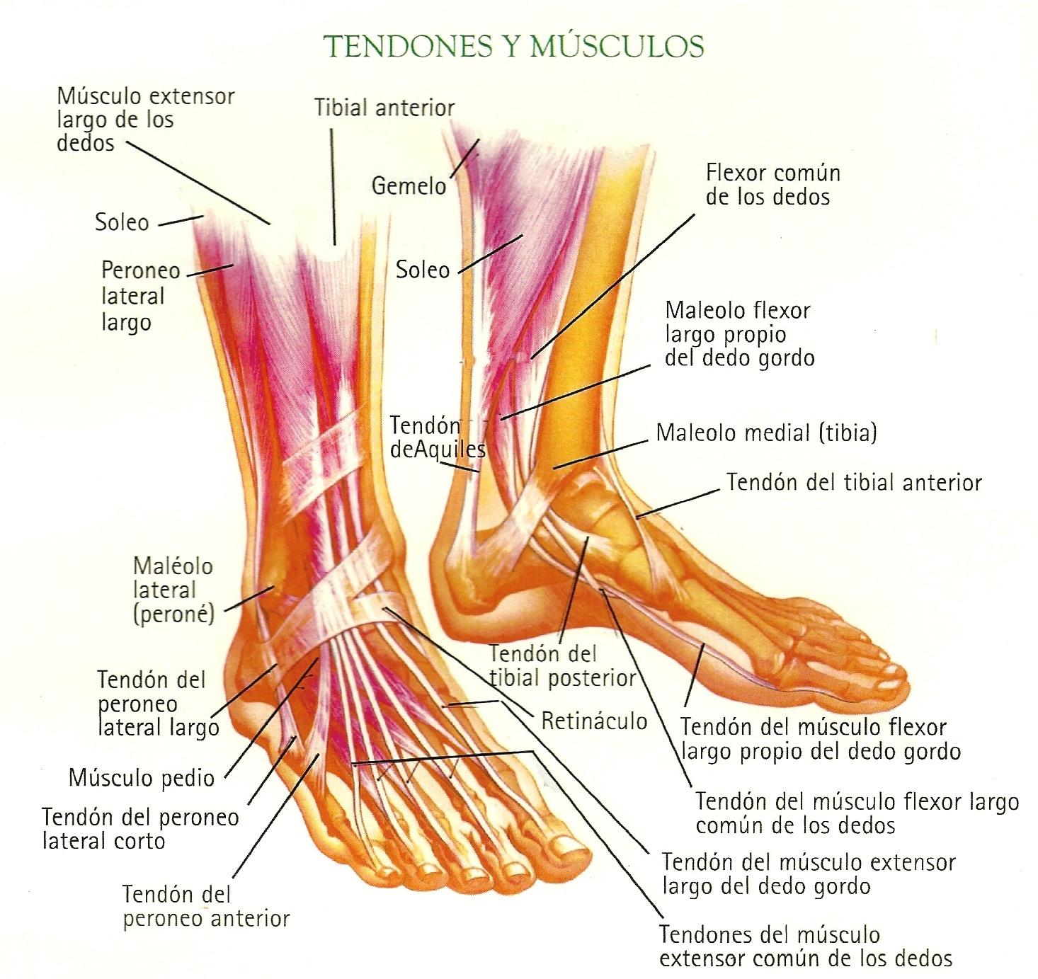 Bonito Tendones De La Anatomía Del Pie Galería - Anatomía de Las ...