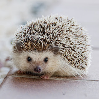 Hedgehog Facts & Photos