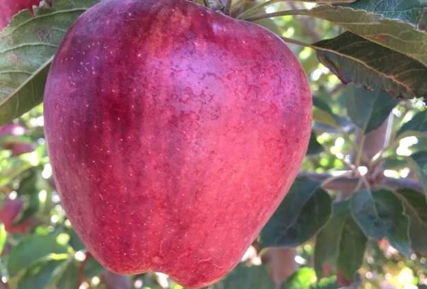 التفاح السوري مقابل القمح الروسي.؟