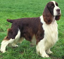 As 5 raças de cachorro mais lindas do mundo