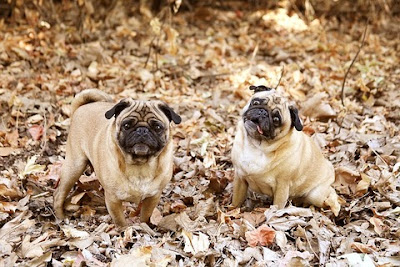 Pug Dog Breed Information And Care