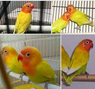 Ciri Dari LoveBird Pastel Kuning, Yang Wajib Anda Ketahui