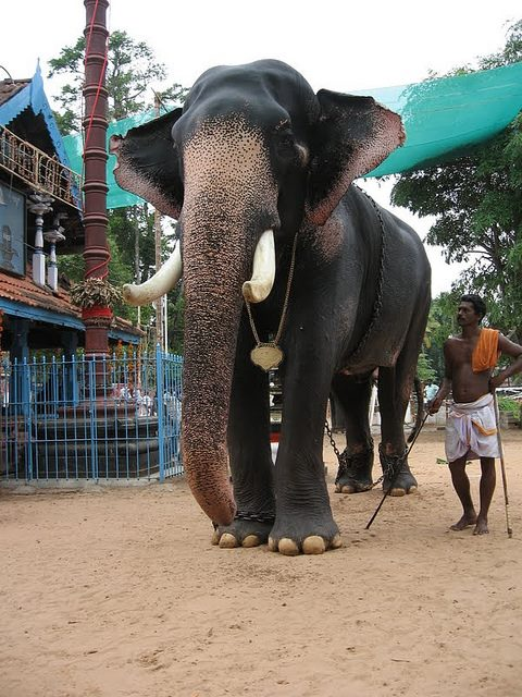2017 | Aanachandam - Kerala Elephants