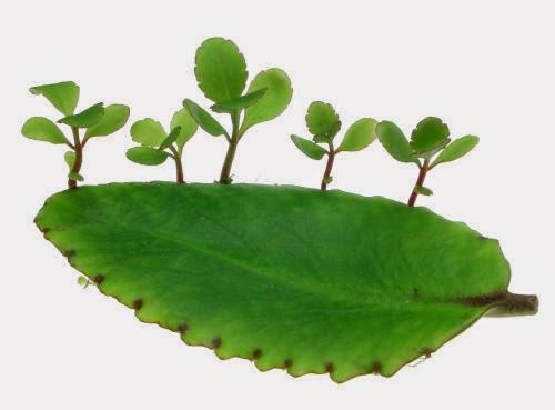 Bài thuốc trị bệnh trĩ từ cây lá bỏng