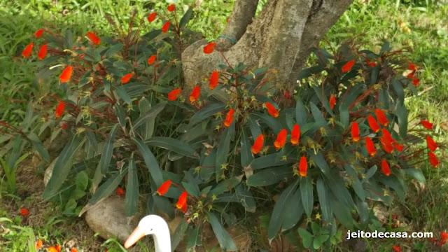 semania, flores-fortes -e -perenes