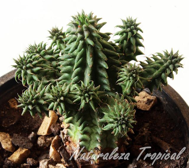 Vista de la planta suculenta Euphorbia susannae