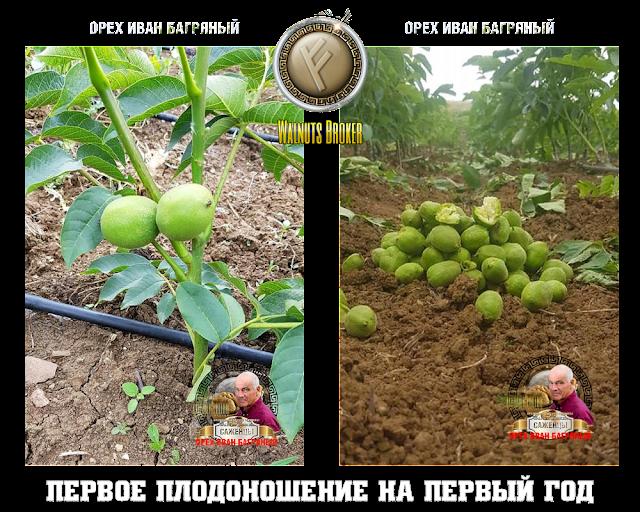 Грецкий орех Иван Багряный купить, 0985674877, 0957351986, Walnuts Broker