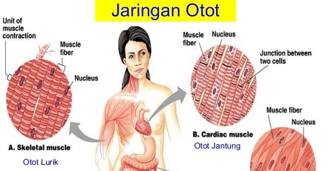 Otot Manusia Pengertian Karakteristik Fungsi Jenis Dan Cirinya Artikel Materi