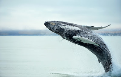 Whale breaching off the coast of Húsavik in the summer
