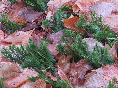 shining fir moss at Arcadia Dunes