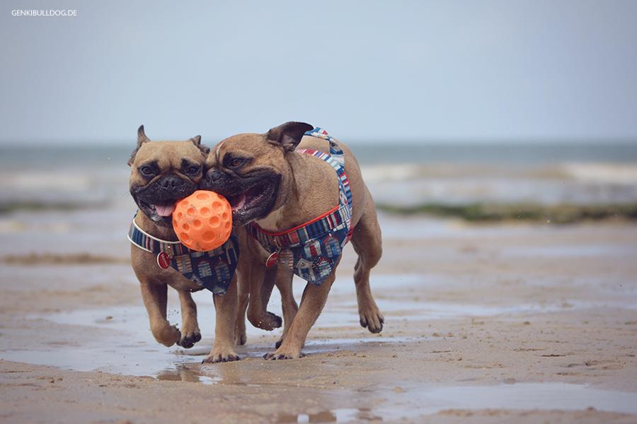 Hundbelog Genki Bulldog - Urlaub in der Nromandie Veules-les-Roses