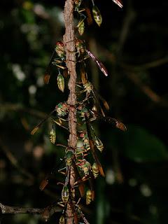 Belanogaster eumenoides