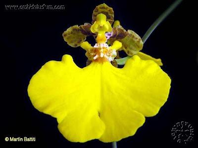 Flor de patito Oncidium bifolium