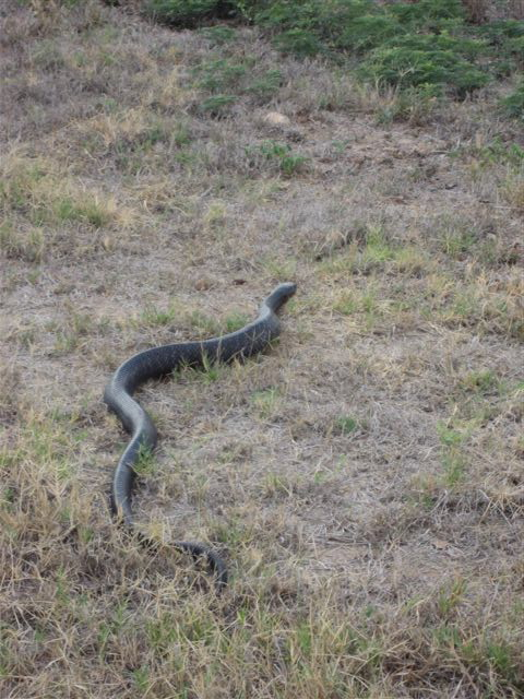 Snake Eats Snake 12 Pictures Amazing Creatures