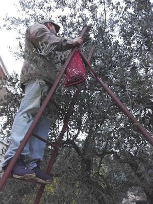 Come funziona la raccolta delle olive con la scala da frutteto