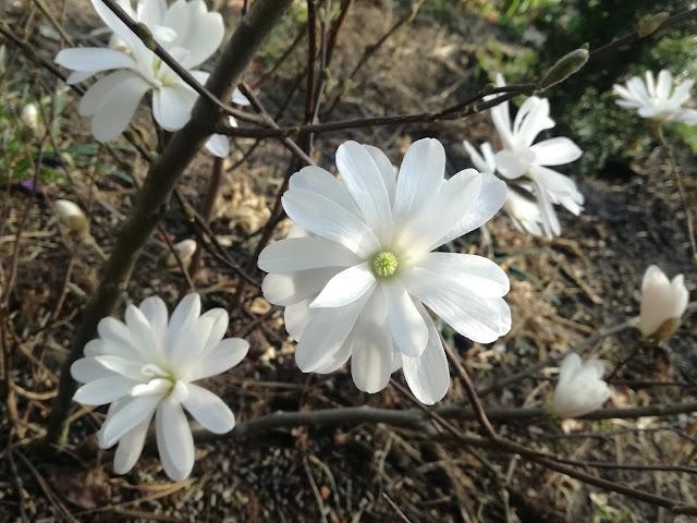białą magnolia