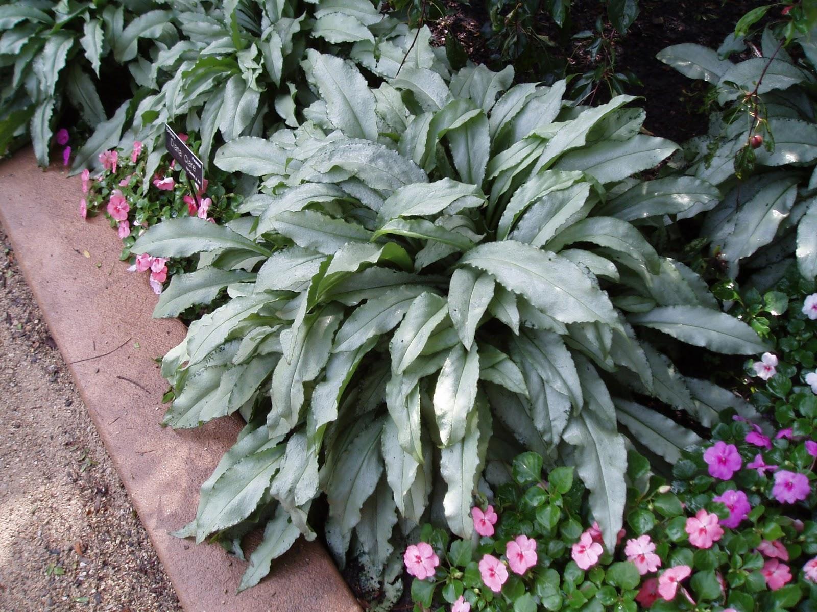 Rotary Botanical Gardens Hort Blog Lungworts For Durability
