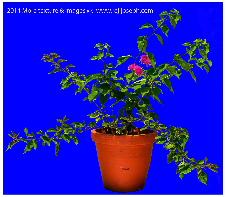 Bougainvillea Garden Plant Texture 00001