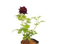 Bibit Bunga Mawar Potong