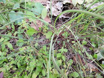 Τραγοπώγων ο πρασόφυλλος-Tragopogon porrifolius