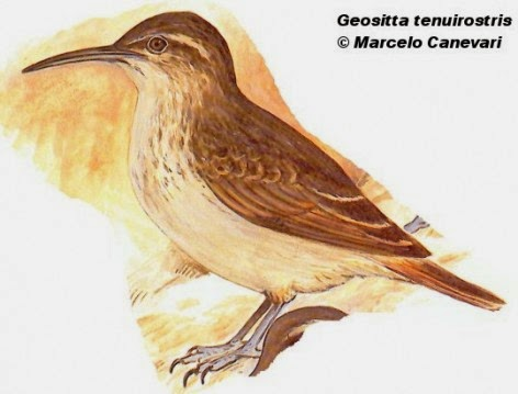 Caminera picuda, Geositta tenuirostris