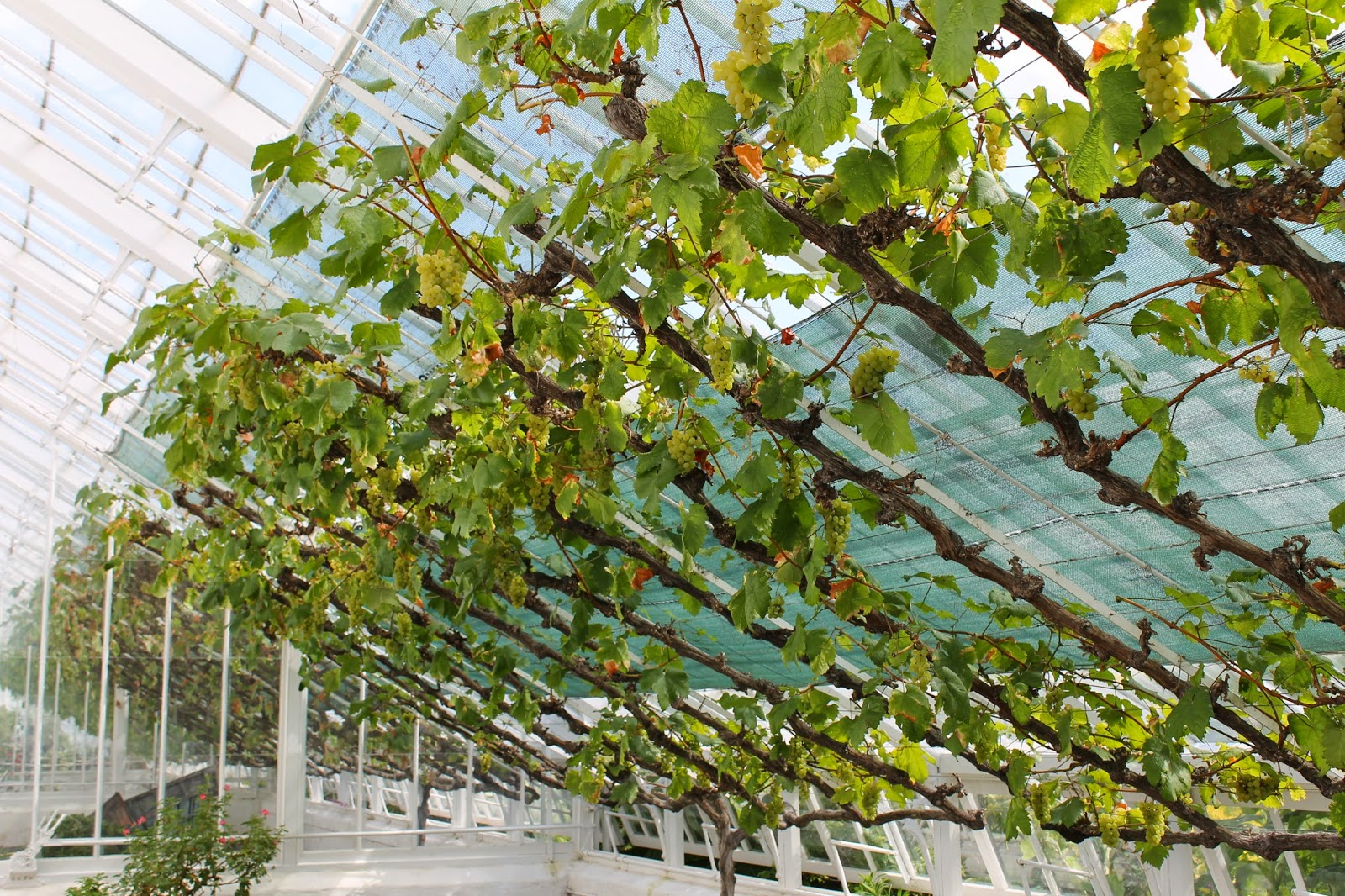 How to grow grapes 78