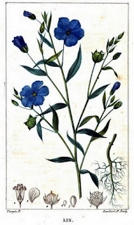 Painting of flax plant and flax flowers from From Flore Médicale, Volume 4, by Chaumeton et al.