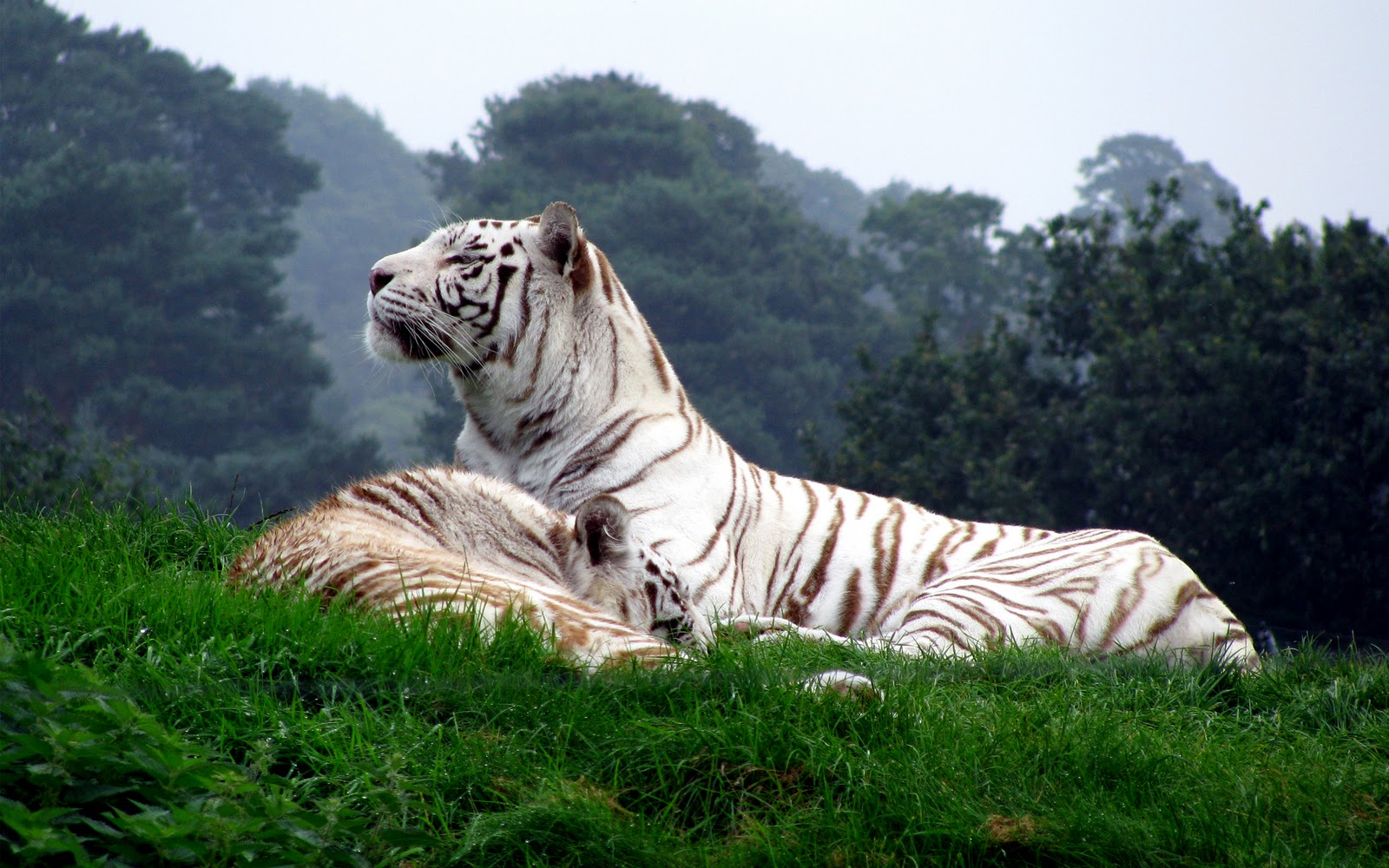 TIGER WALLPAPERS: Mountain White Tiger Wallpapers