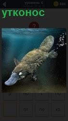 Млекопитающее утконос ныряет в воду, пуская только пузыри и работая плавниками и плоским носом