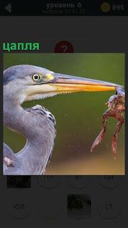 Птица цапля держит в своем клюве лягушку в качестве пищи для себя