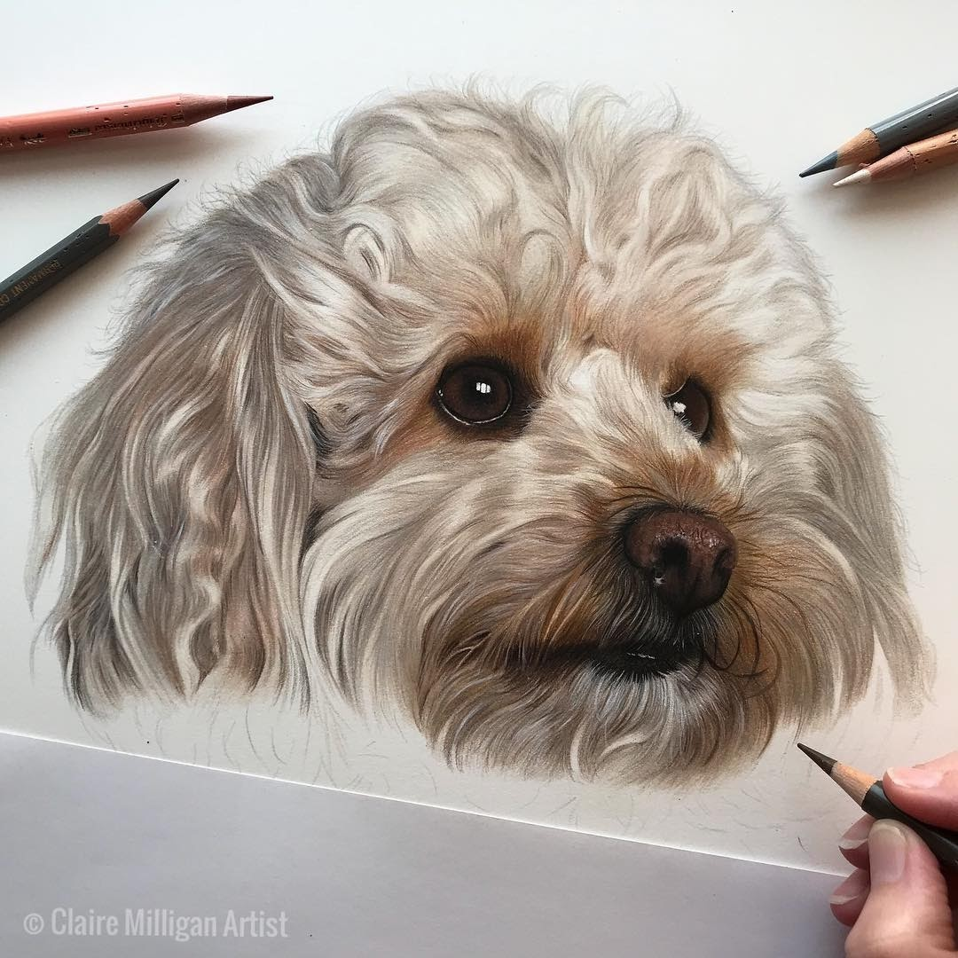 11-Teddy-Toy Poodle-Detail-Claire-Milligan-Cats-birds-and-Dogs-Realistic-Animal-Drawings-www-designstack-co